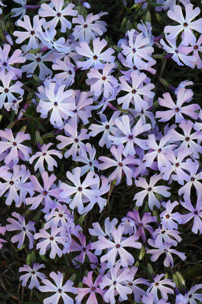 Photograph - Glade Phlox by Daniel Reed