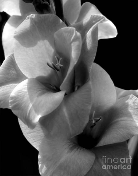 Photograph - Gladiola Flower In Black And White by Smilin Eyes  Treasures