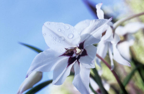 Wall Art - Photograph - Gladiolus Callianthus 'murieliae' by Jane Sugarman/science Photo Library