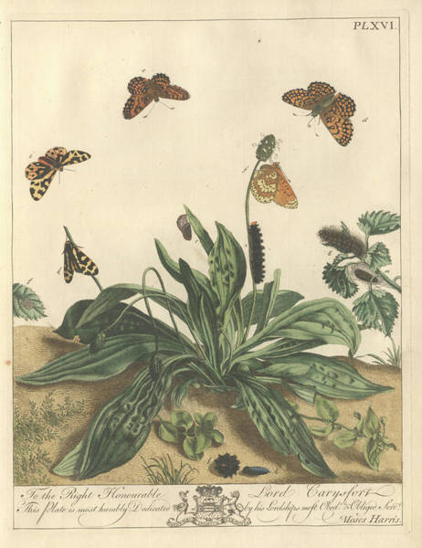 Wall Art - Photograph - Glanville Fritillary Butterfly by Natural History Museum, London/science Photo Library