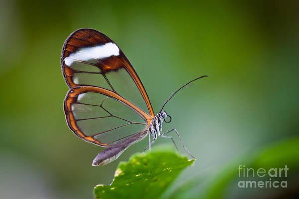 Wall Art - Photograph - Glass Wing Butterfly by Bahadir Yeniceri