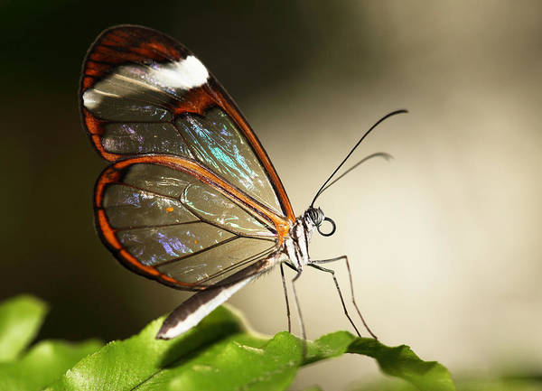 Wall Art - Photograph - Glassed Wing Tropical Butterfly by Grant Glendinning