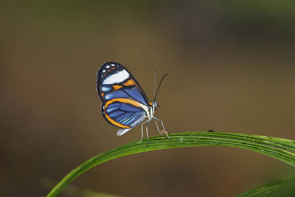Carrillo Photograph - Glasswing On Leaf  Costa Rica by Konrad Wothe
