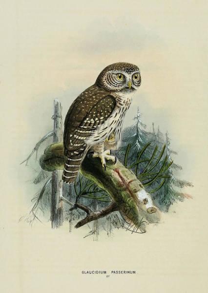 Owl Painting - Glaucidium Passerinum by Dreyer Wildlife Print Collections