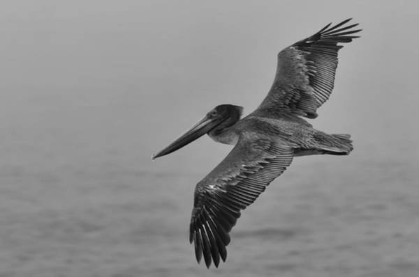 Photograph - Gliding Pelican In Black And White by Sebastian Musial