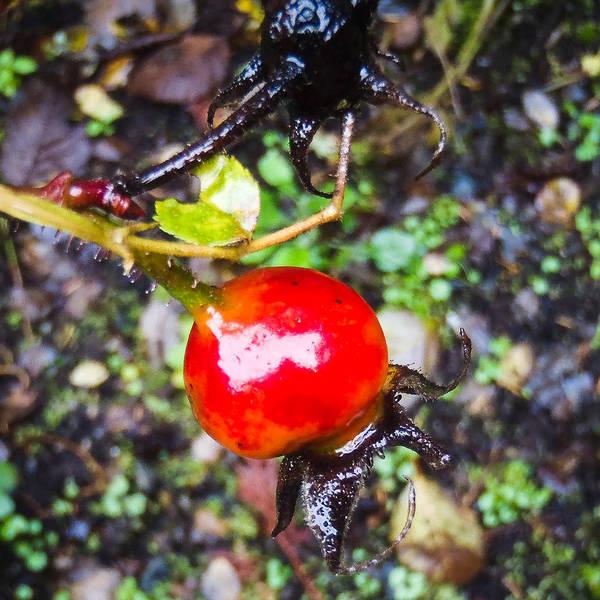 Photograph - Glistening Wet Rose Hip by Roxy Hurtubise
