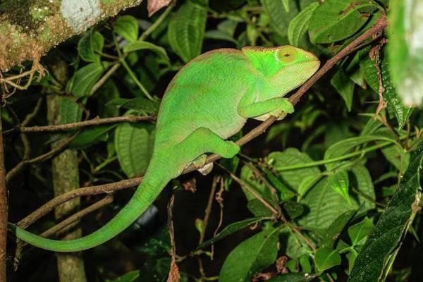 Psi Photograph - Globe-horned Chameleon by Photostock-israel