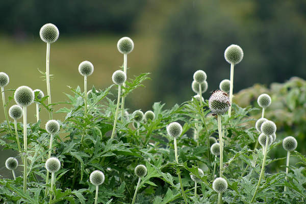 Photograph - Globe Thistle Field by Emanuel Tanjala