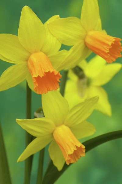 Freshness Photograph - Glorious Golden Jetfire Daffodils In by Rosemary Calvert