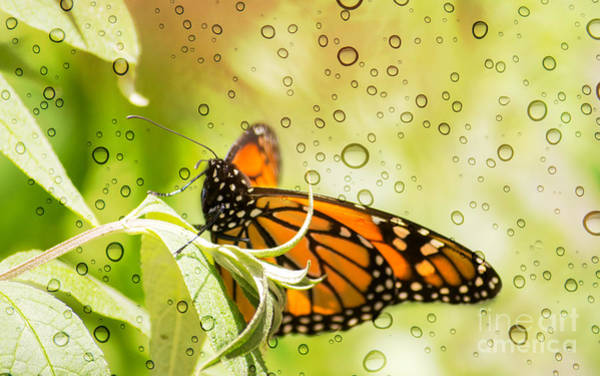 Photograph - Glorious Monarch 3 by Rima Biswas