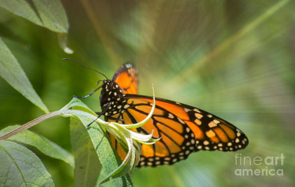 Photograph - Glorious Monarch by Rima Biswas