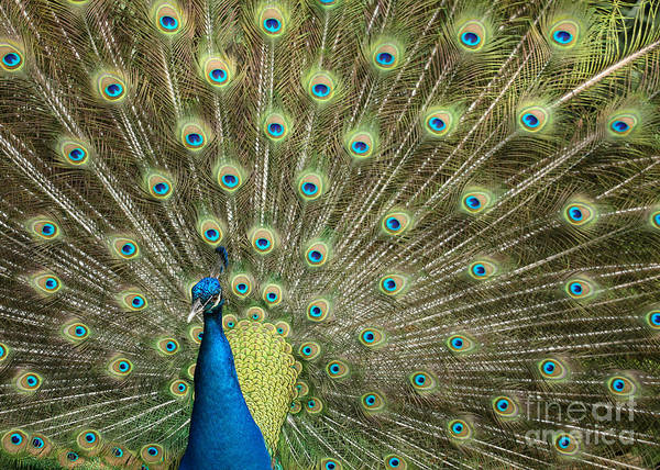 Photograph - Glorious Peacock Feathers by Sabrina L Ryan