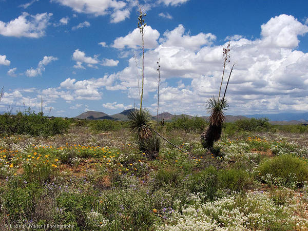 Photograph - Glorious Spring In The Desert by Lucinda Walter