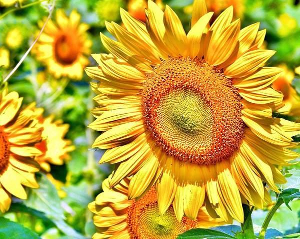 Bemis Photograph - Glorious Sunflowers by Kim Bemis