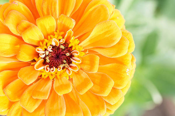 Photograph - Glorious Yellow Zinnia by Jeanne May