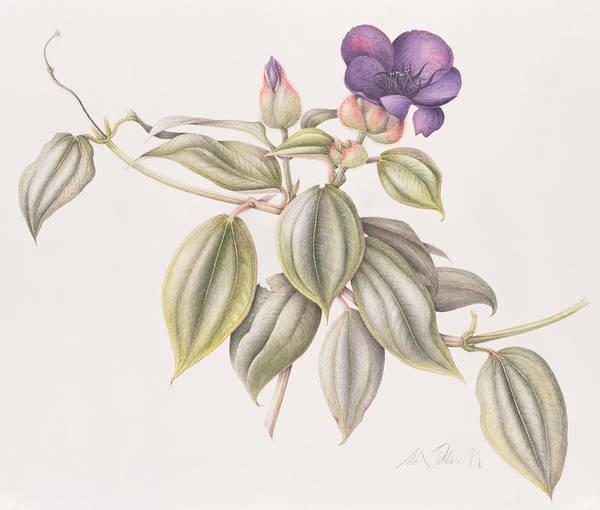 Violet Painting - Glory Flower Tibouchina Urvilleana 1999 Wc On Paper by Margaret Ann Eden