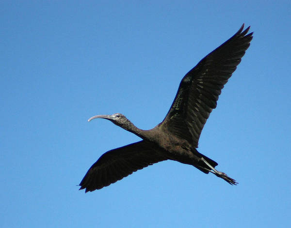 Photograph - Glossy Ibis In Flight by Dawn Currie