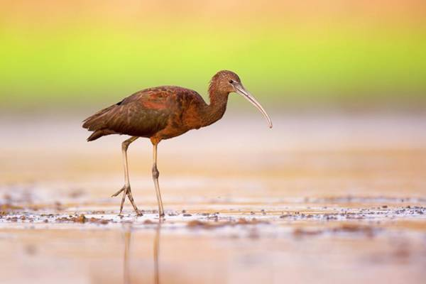 Glossy Photograph - Glossy Ibis (plegadis Falcinellus) by Photostock-israel/science Photo Library