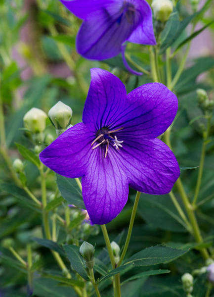 Campanulaceae Photograph - Glowing Balloon Flower Greating The Morning by Douglas Barnett