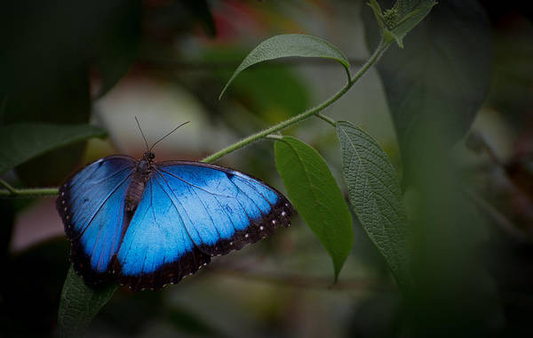 Photograph - Glowing Blue by Penny Lisowski