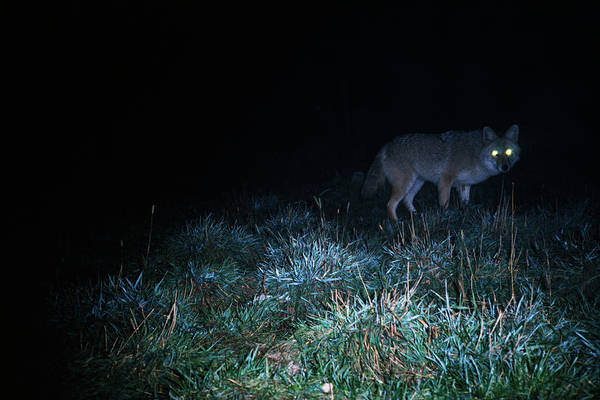 Lurking Photograph - Glowing Eyes Of Eastern Coyote Hunting by Animal Images