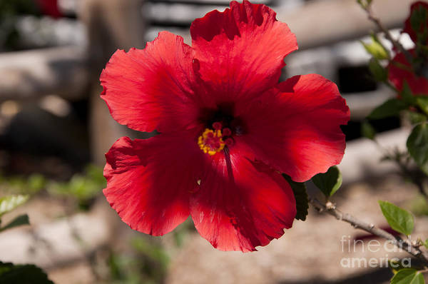 Photograph - The  Glowing Heart Of A Hibiscus by Brenda Kean
