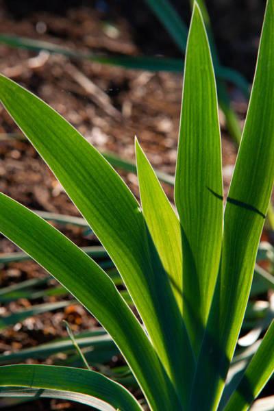 Crossville Wall Art - Photograph - Glowing Iris Leaves 1 by Douglas Barnett