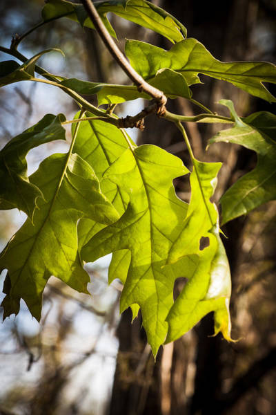 Photograph - Glowing Leaves by James Woody