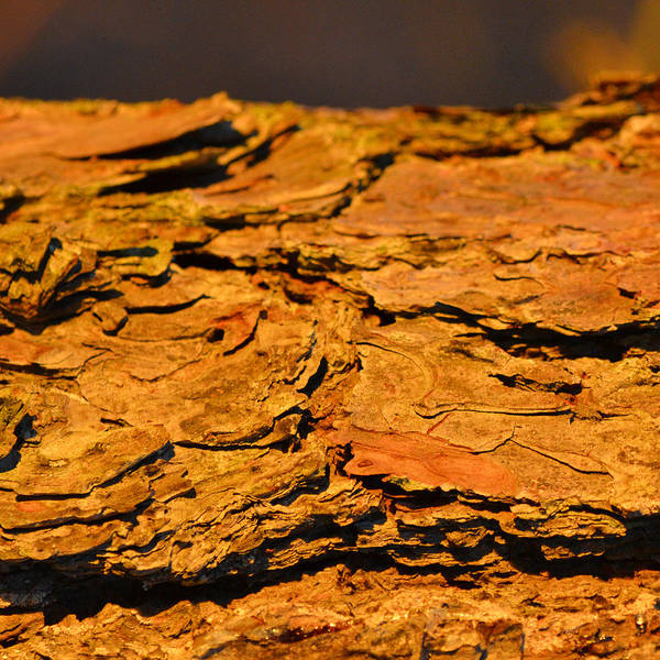 Photograph - Glowing Pine Bark by Beth Sawickie