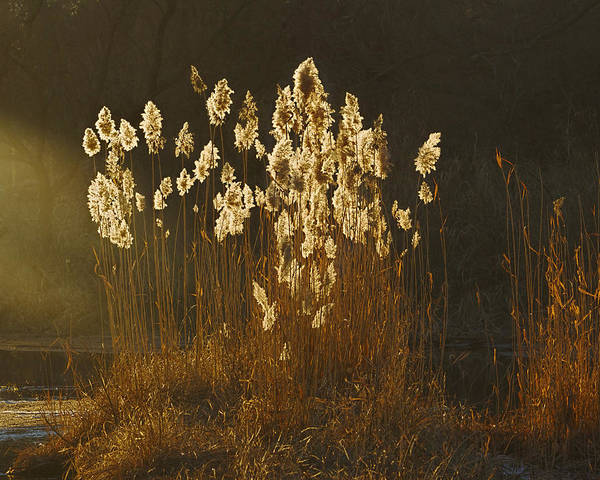 Photograph - Glowing Reeds by Rob Graham