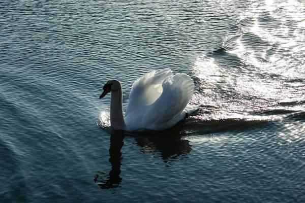 Photograph - Glowing Silver Wake - The Pompous Territorial Swan by Georgia Mizuleva