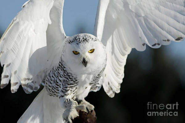 In Flight Photograph - Glowing Snowy Owl In Flight by Inspired Nature Photography Fine Art Photography