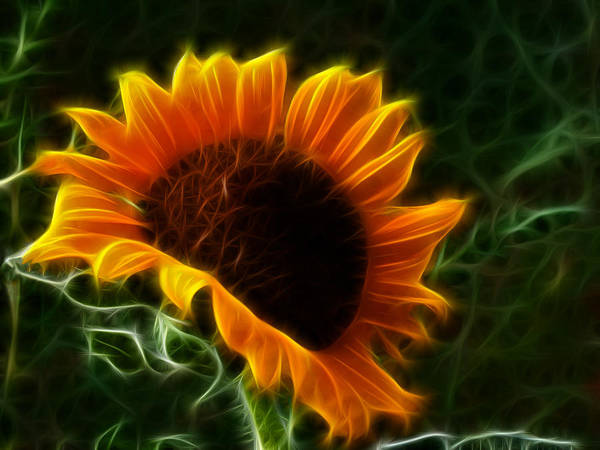 Photograph - Glowing Sunflower by Shane Bechler