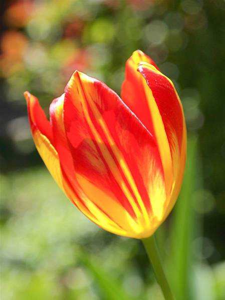 Photograph - Glowing Tulip by Rona Black