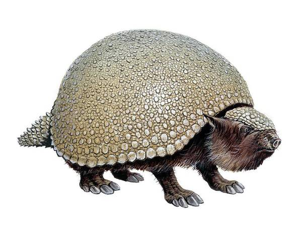 Wall Art - Photograph - Glyptodon by Michael Long/science Photo Library