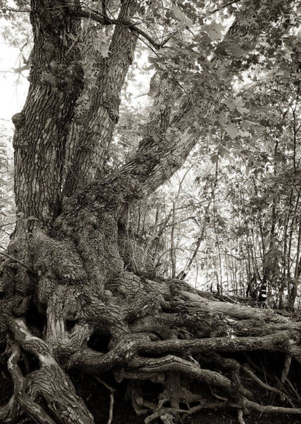 Photograph - Gnarled Tree by Mary Lee Dereske