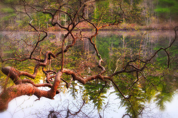Photograph - Gnarled Tree Reflections by Jeff Sinon