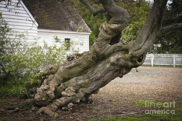 Historic Triangle Photograph - Gnarly by Teresa Mucha
