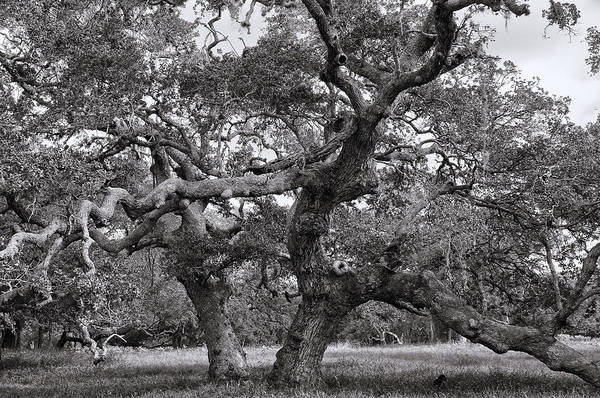 Photograph - Gnarly Tree  by Daniel George