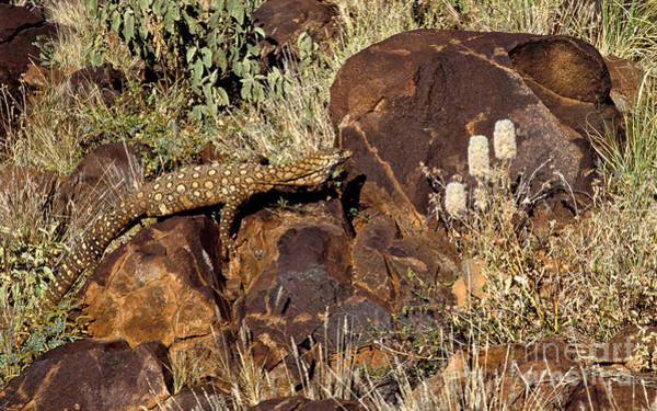 Photograph - Goanna - Central Australia by Steven Ralser