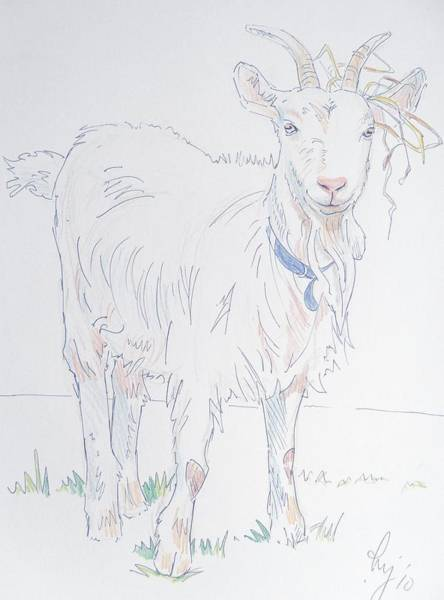 Drawing - Goat Drawing by Mike Jory