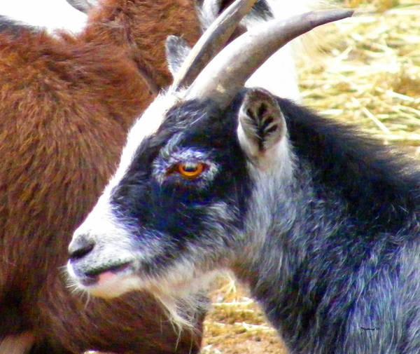 Photograph - Goat Face by Duane McCullough