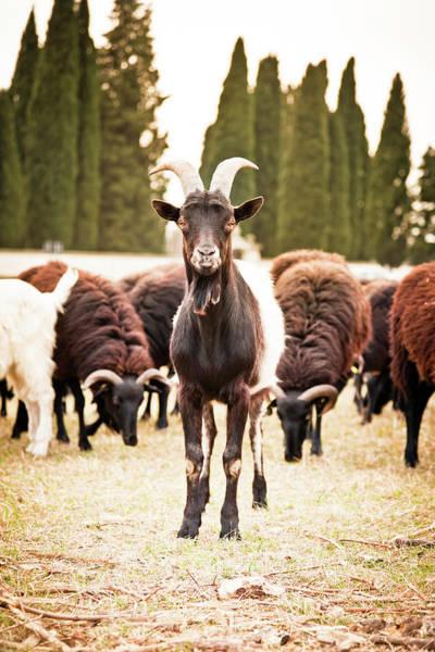 Friuli Photograph - Goat by Mauro grigollo