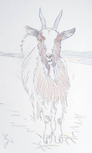 Drawing - Goat by Mike Jory