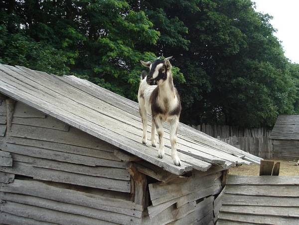 Goat On The Roof Art Print