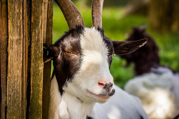 Petting Zoo Photograph - Goat Portrait by Pati Photography