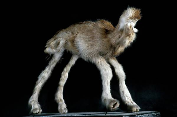 Stuffed Animal Photograph - Goat With Birth Deformity by Patrick Landmann/science Photo Library