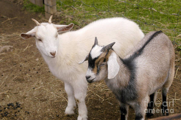 Petting Zoo Photograph - Goats At Petting Zoo by Gregory G. Dimijian