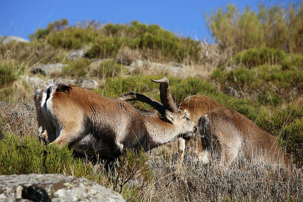 Urban Wildlife Photograph - Goats Goats Over The Rocks, Gredos by David Santiago Garcia