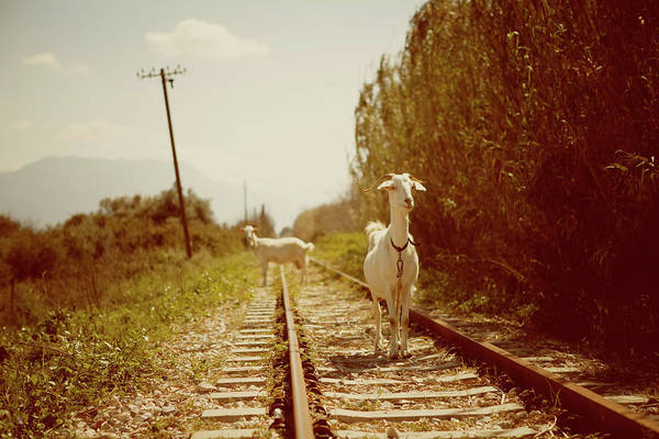 Greece Photograph - Goats On A Railroad Track by Thanasis Zovoilis